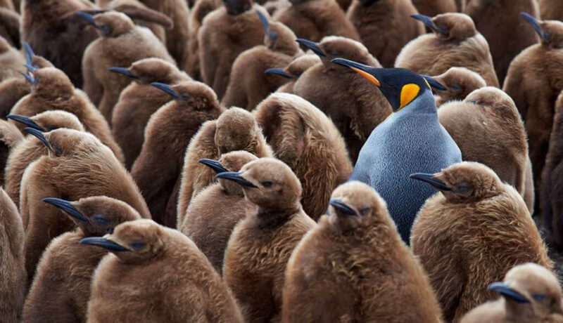 Many brown penguins with a special specimen in blue